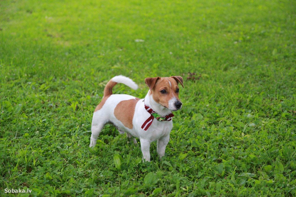 Картинки собак породы джек рассел терьер