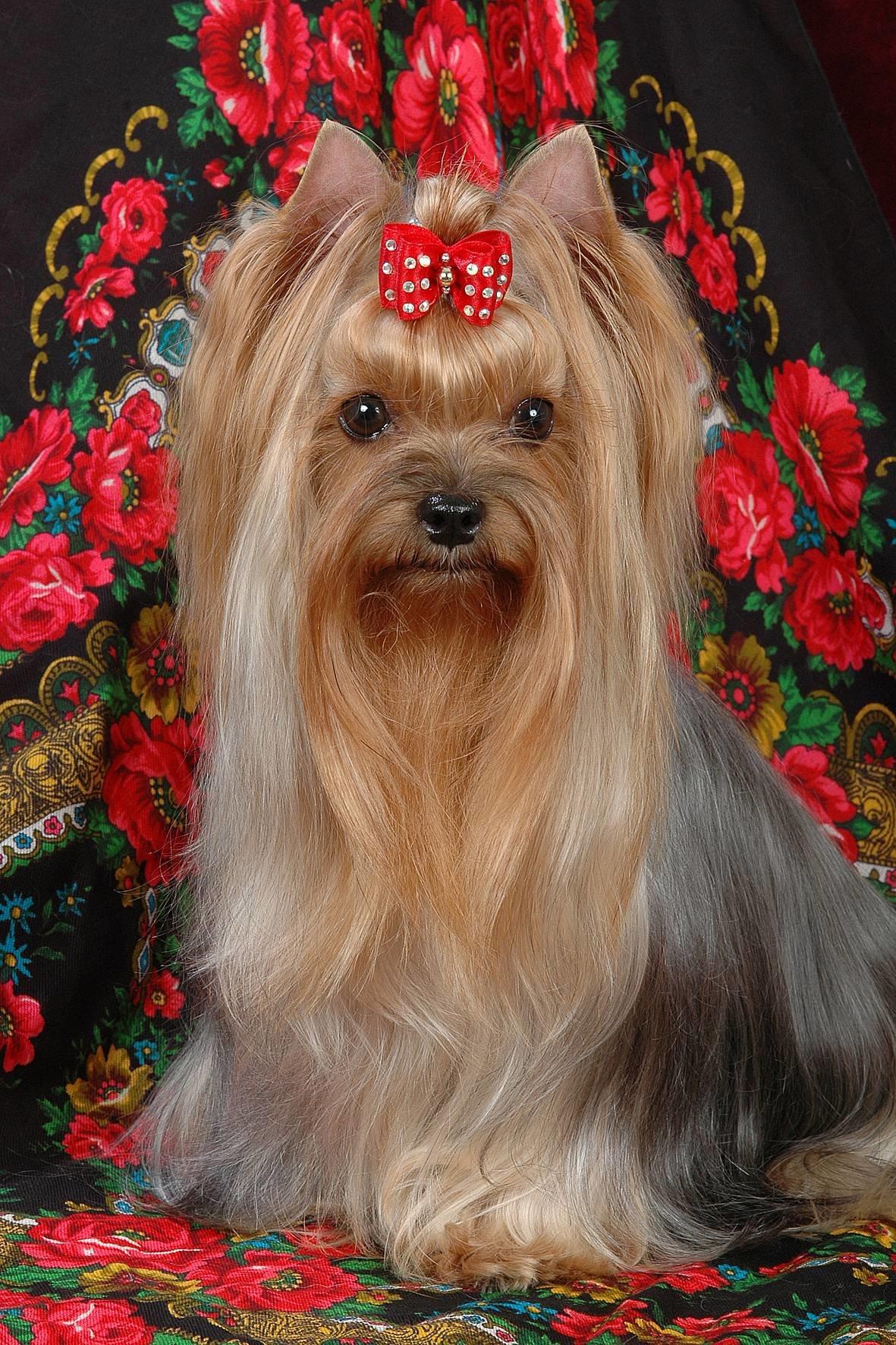 Декоративные собаки фото