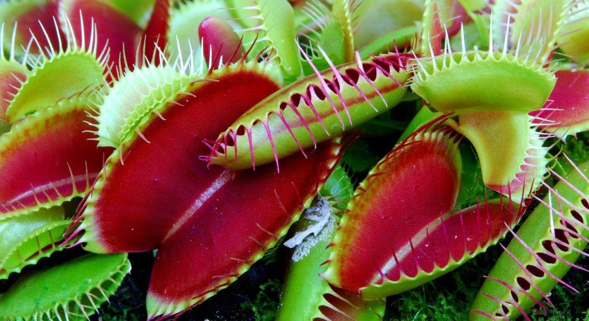 Цветов, купить растение которое ест мух