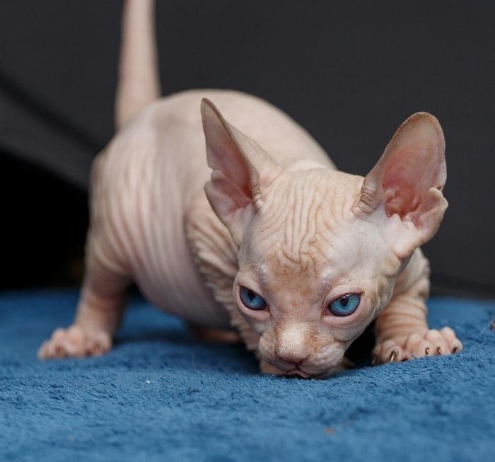фотография сфинкс кошка пожеланья приятных