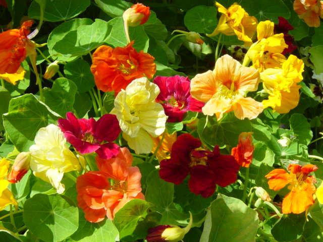 Настурция помогает огороднику....в борьбе с вредителями  nasturtiumdwarfjewelmix3.jpg (640×480)