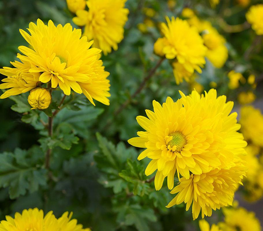 Желтые хризантемы картинки, признание