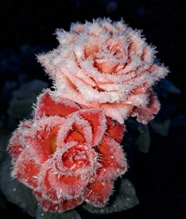 самые красивые фото замерзшей розы узла трансмиссии