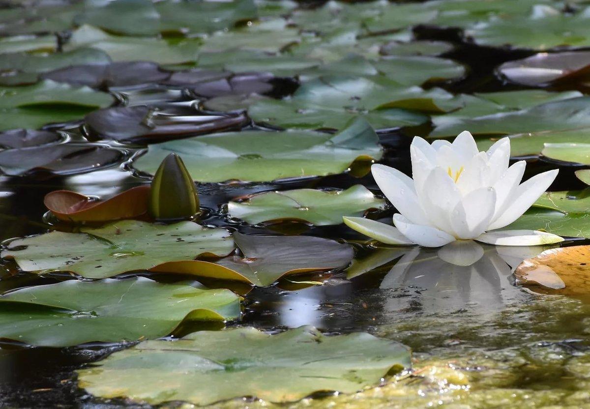 Картинки лилии на воде