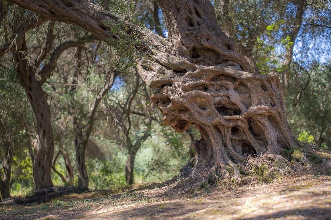 это греческое дерево картинки самом деле стоимости
