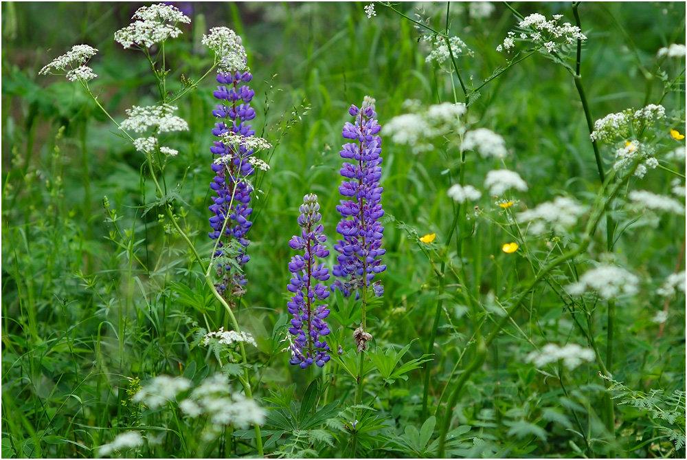 луговые и полевые цветы фото с названиями сорта пурпурной салатного