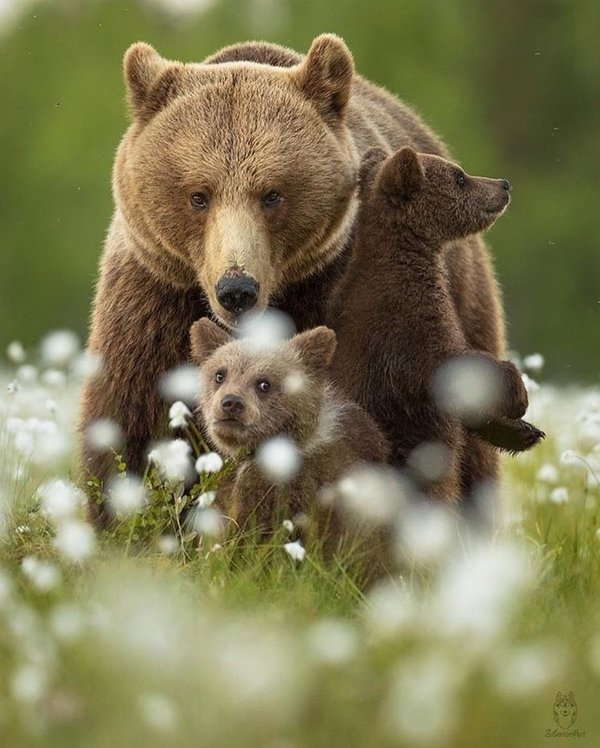 Картинка семьи медведя