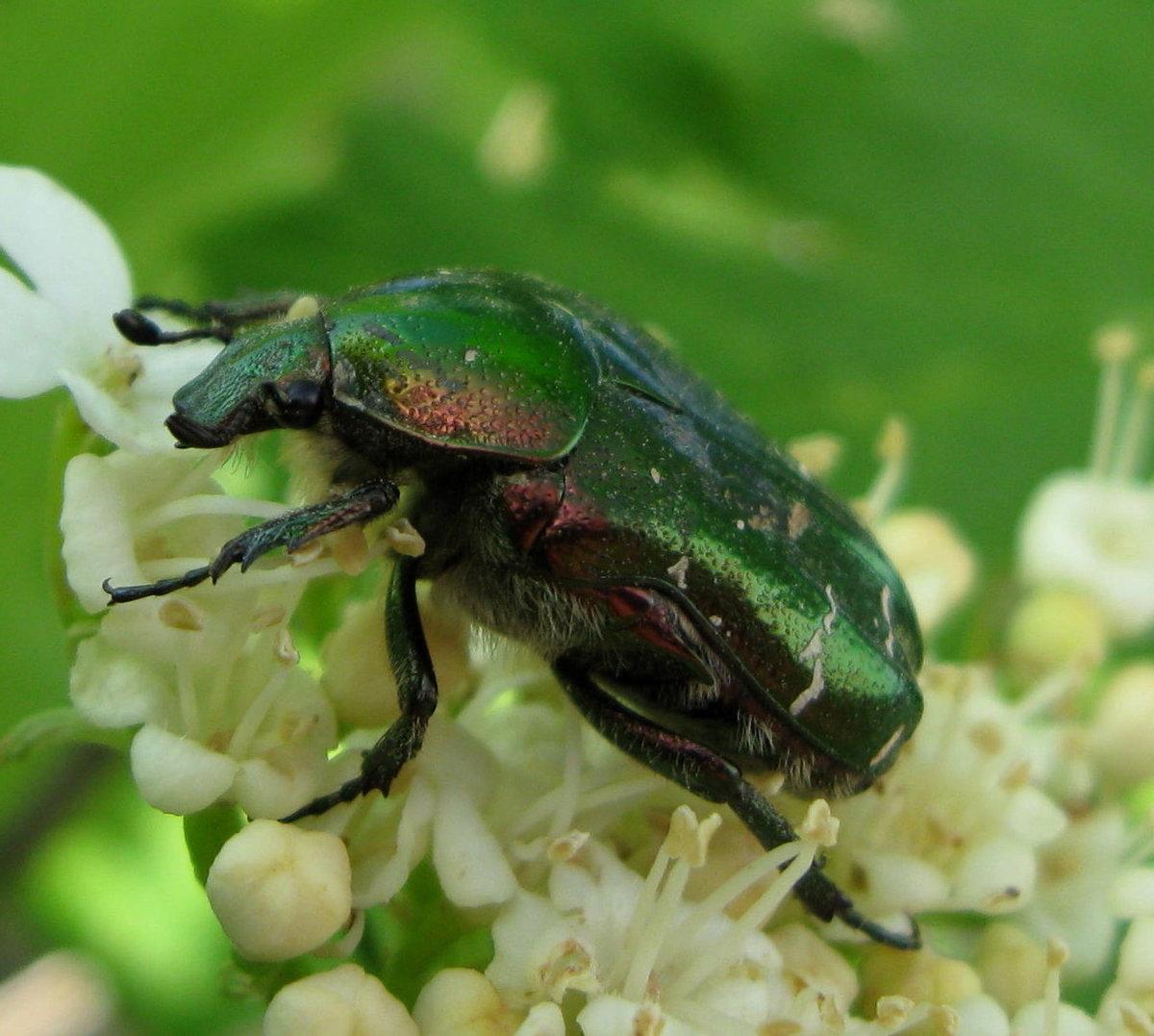 время считается зеленый майский жук фото пастелью рисуем фон