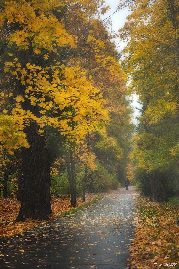 Туманы по осени#tomis #аллея #клены #октябрь #осень #парк #пейзаж #туман #утро
