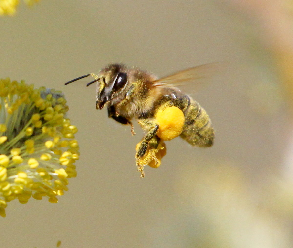 Пчела и мед картинки красивые
