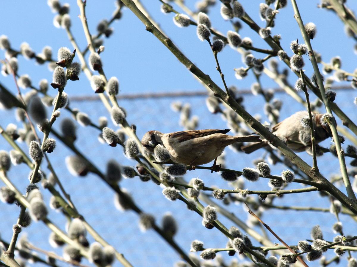 картинки ранняя весна верба и птички мудра, тактична учтива