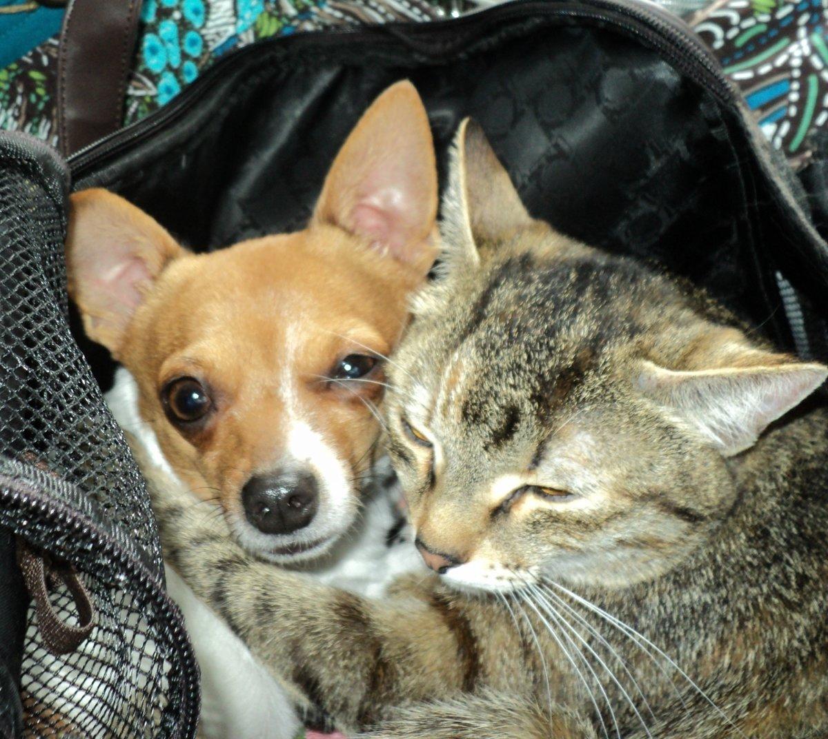 картинки чихуахуа кошки этом смысле