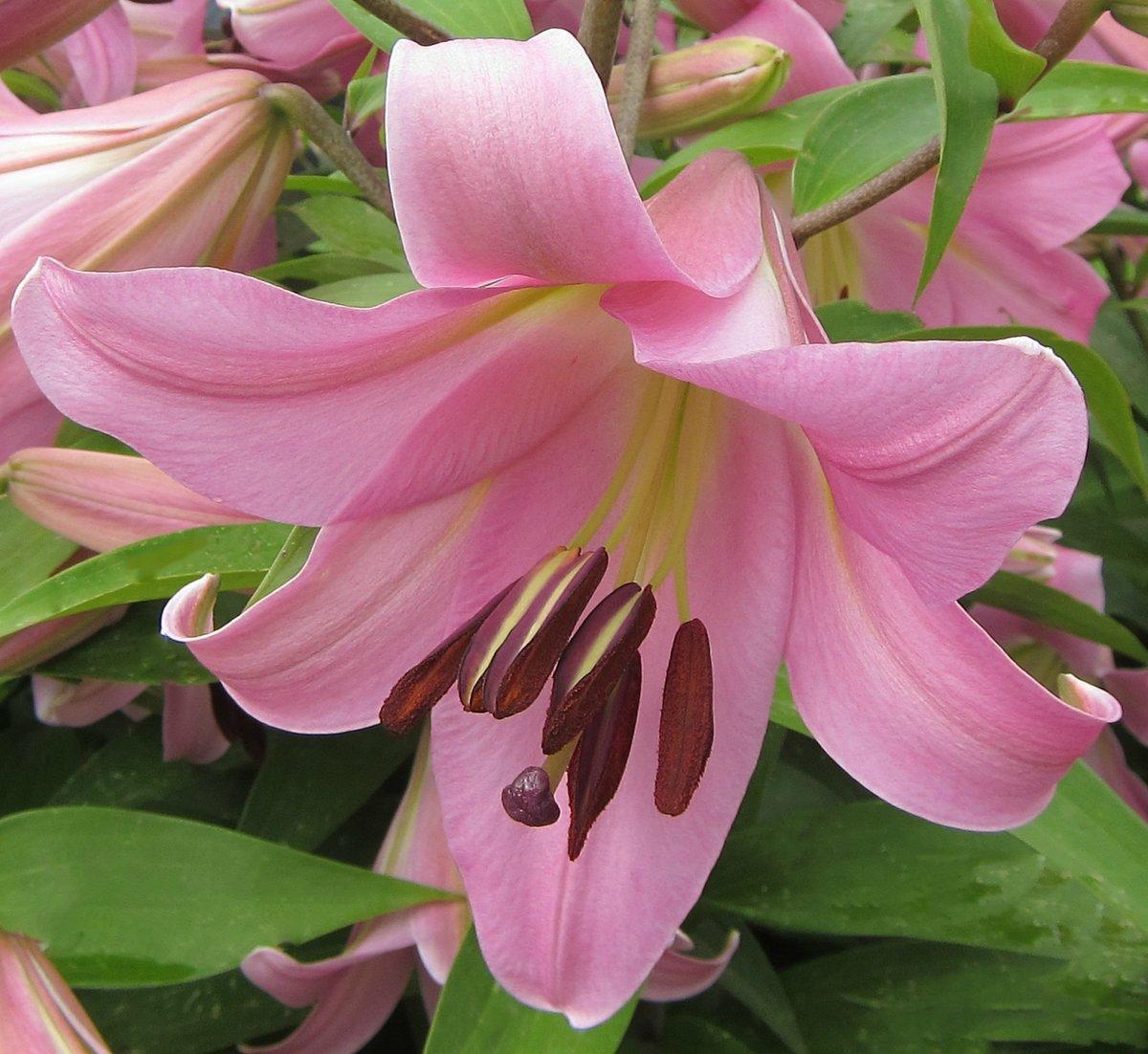 Картинка лилия розовая