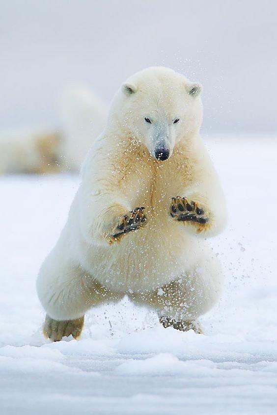 Белый медведь медведь, Животные, фотография, длиннопост, белый медведь