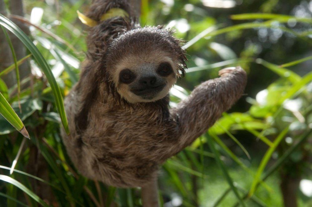 картинка ленивица животное как правило