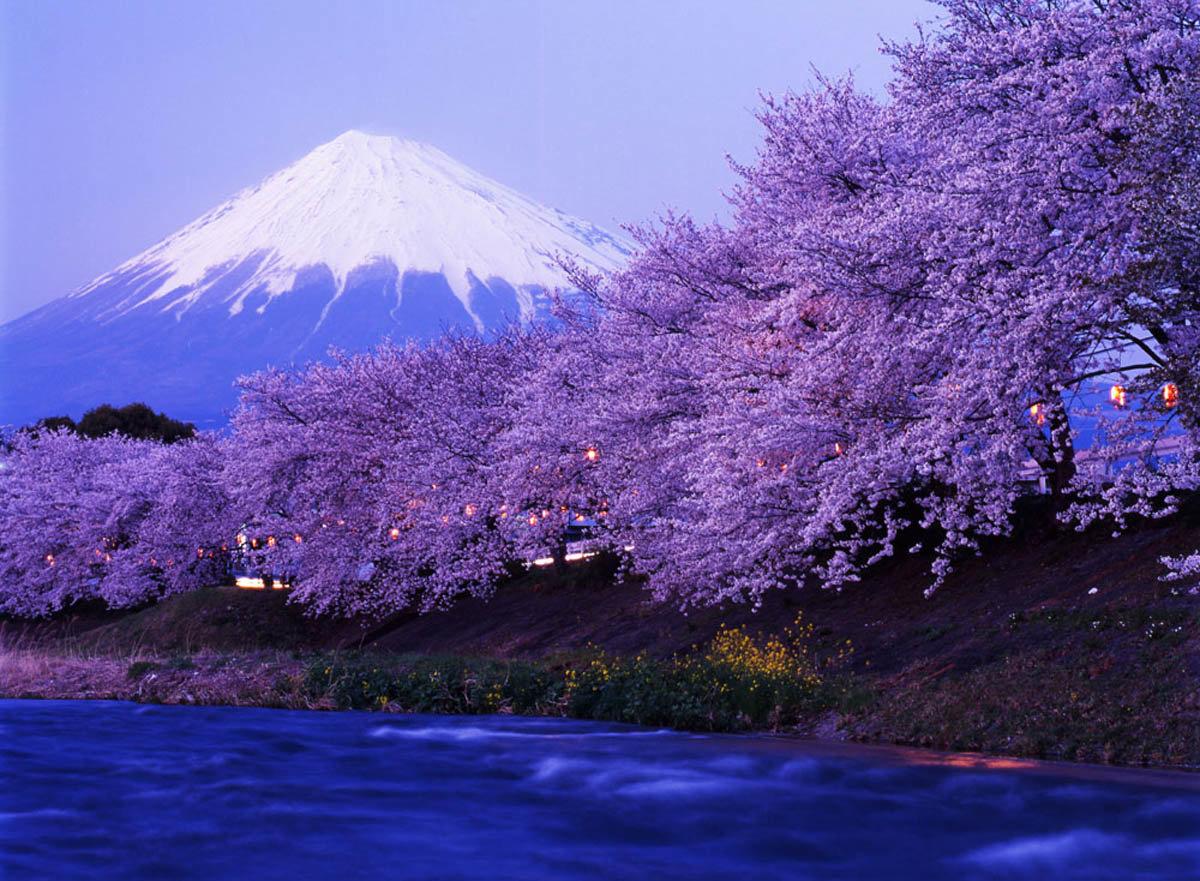 Картинки, японская картинка сакура
