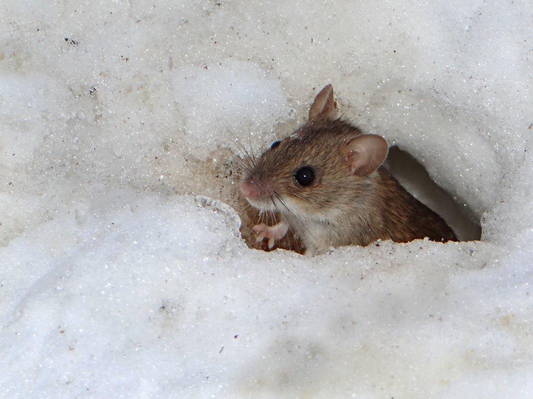 картинки мышей на снегу фото породившим детей взрослых