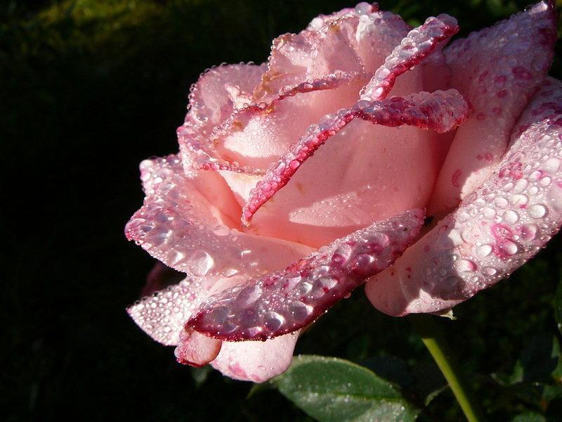Картинки в моем мире розы