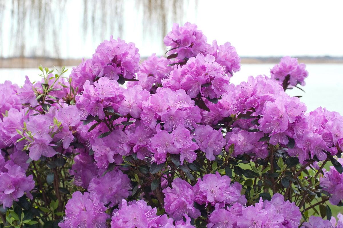 Открытки, картинки азалия цветок
