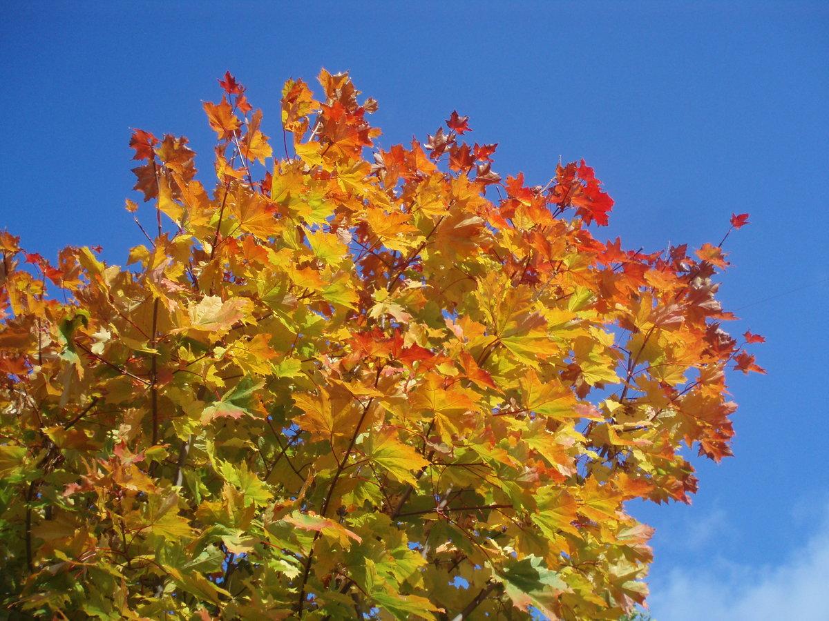 Осень золотая клены фото