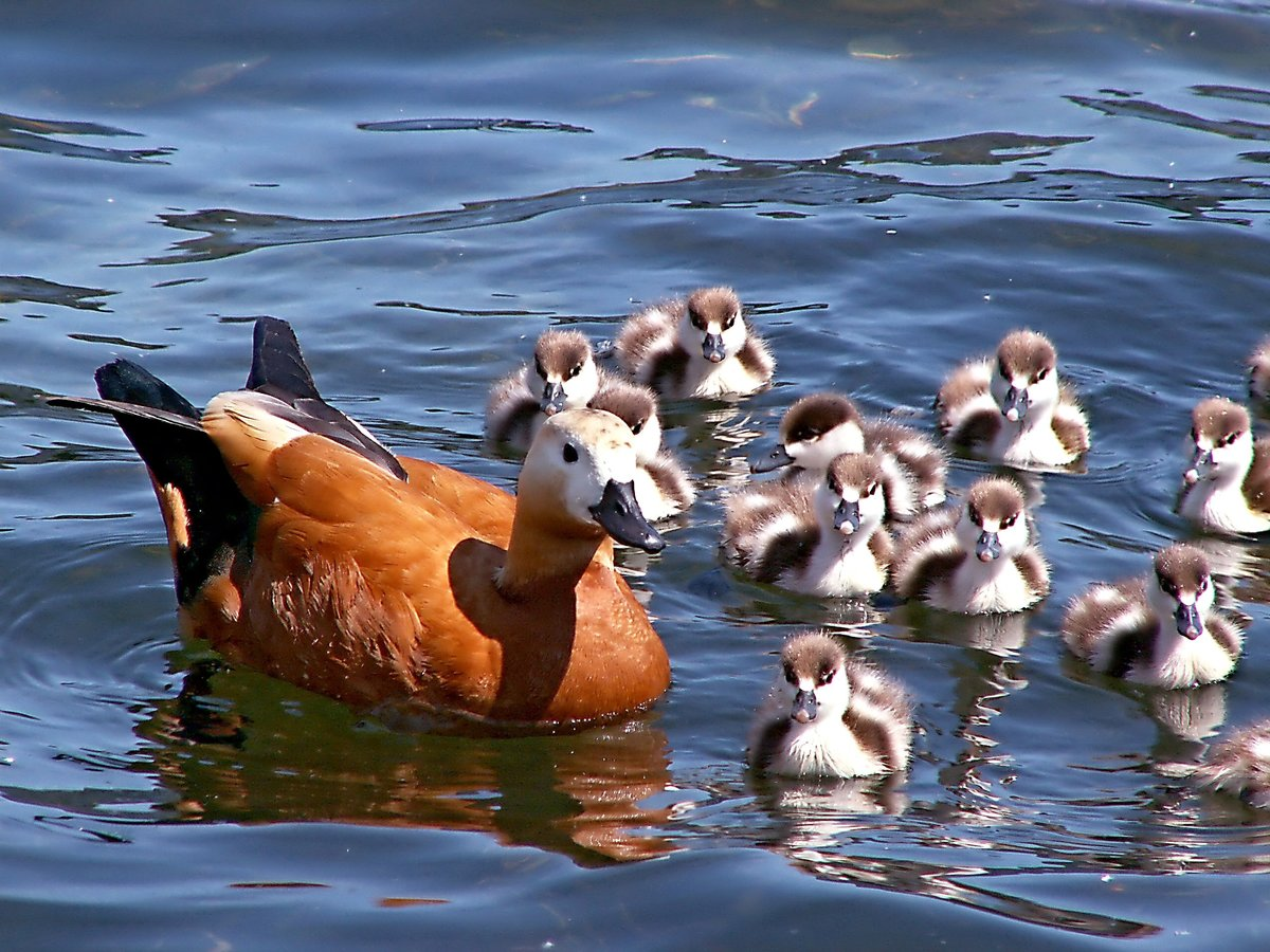 картинка какие утки них
