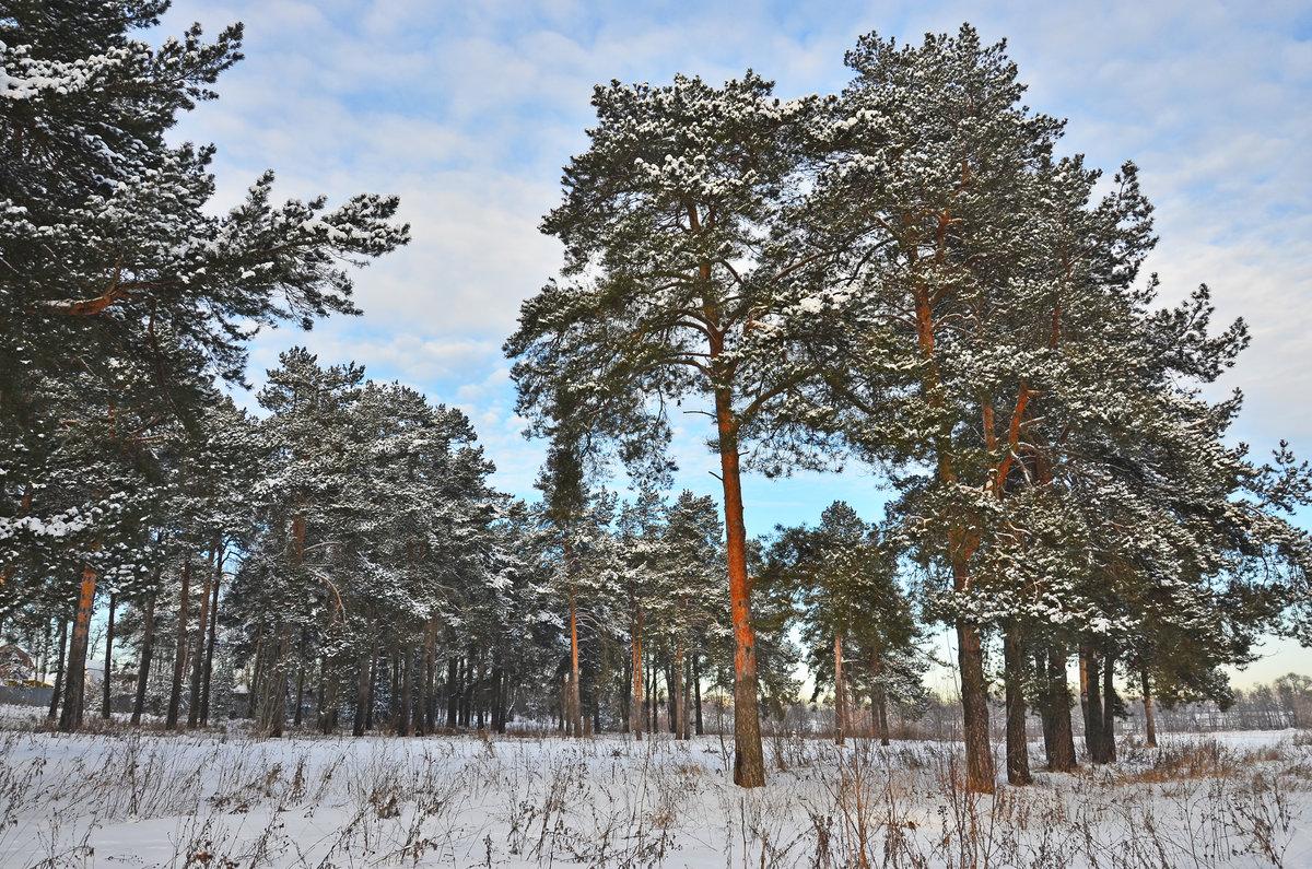 Зима картинки сосны