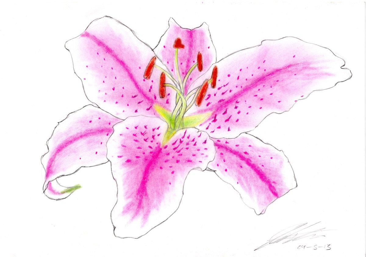 Открытки, лилии картинки нарисованные