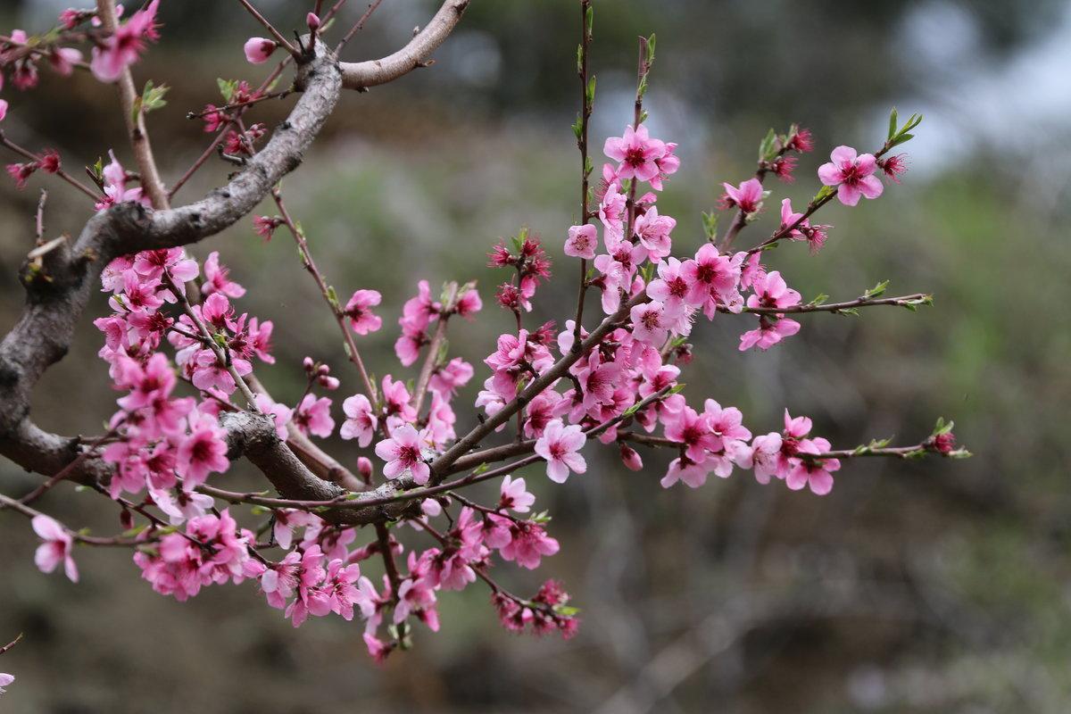 немного погуляли фото цветущего персика краям резкость