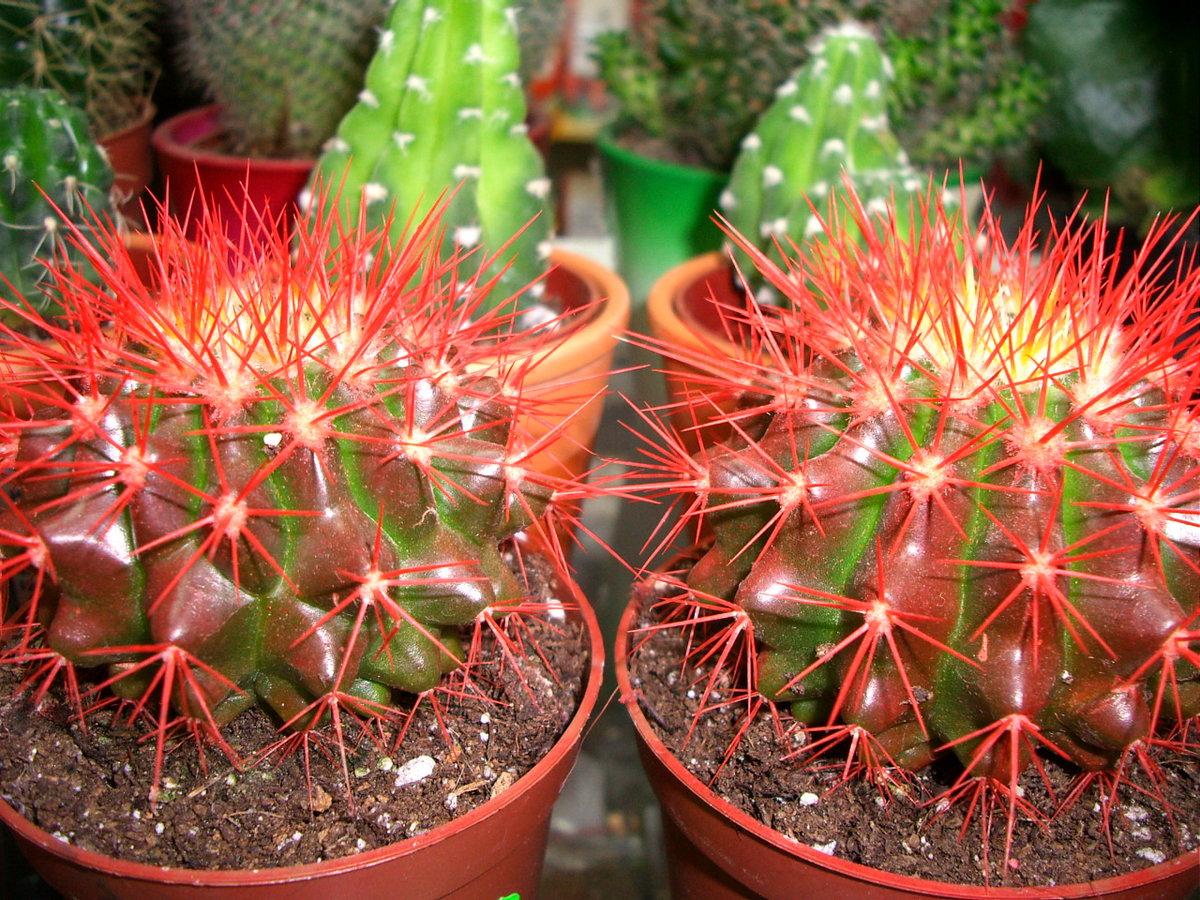 Самые популярные виды кактусов фото