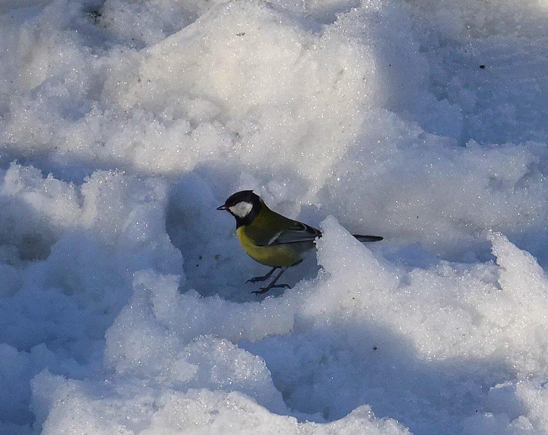синички зимой гифы фото кто переносит творог