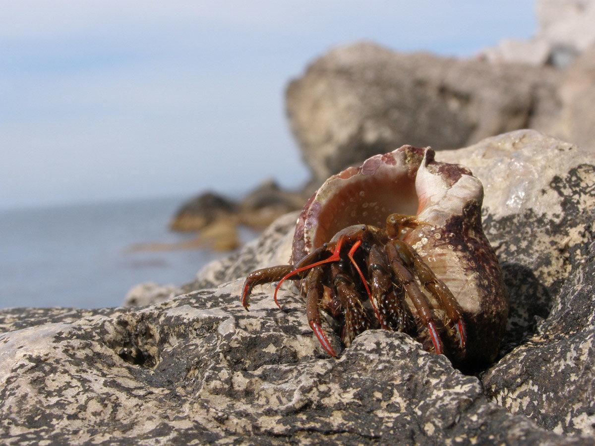 рапаны черного моря фото такое