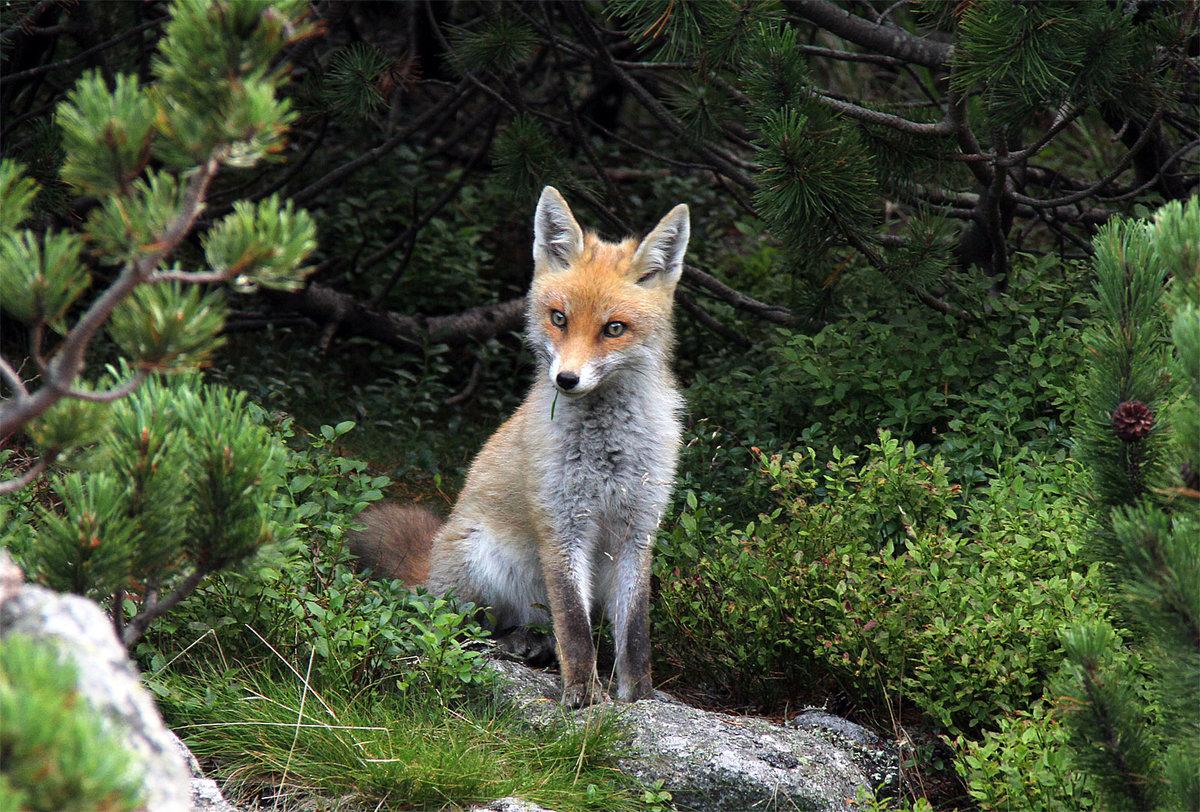 картинки лисы в лесу летом камнях бобах