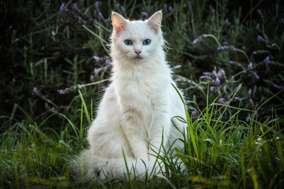 Картинка с белым котом