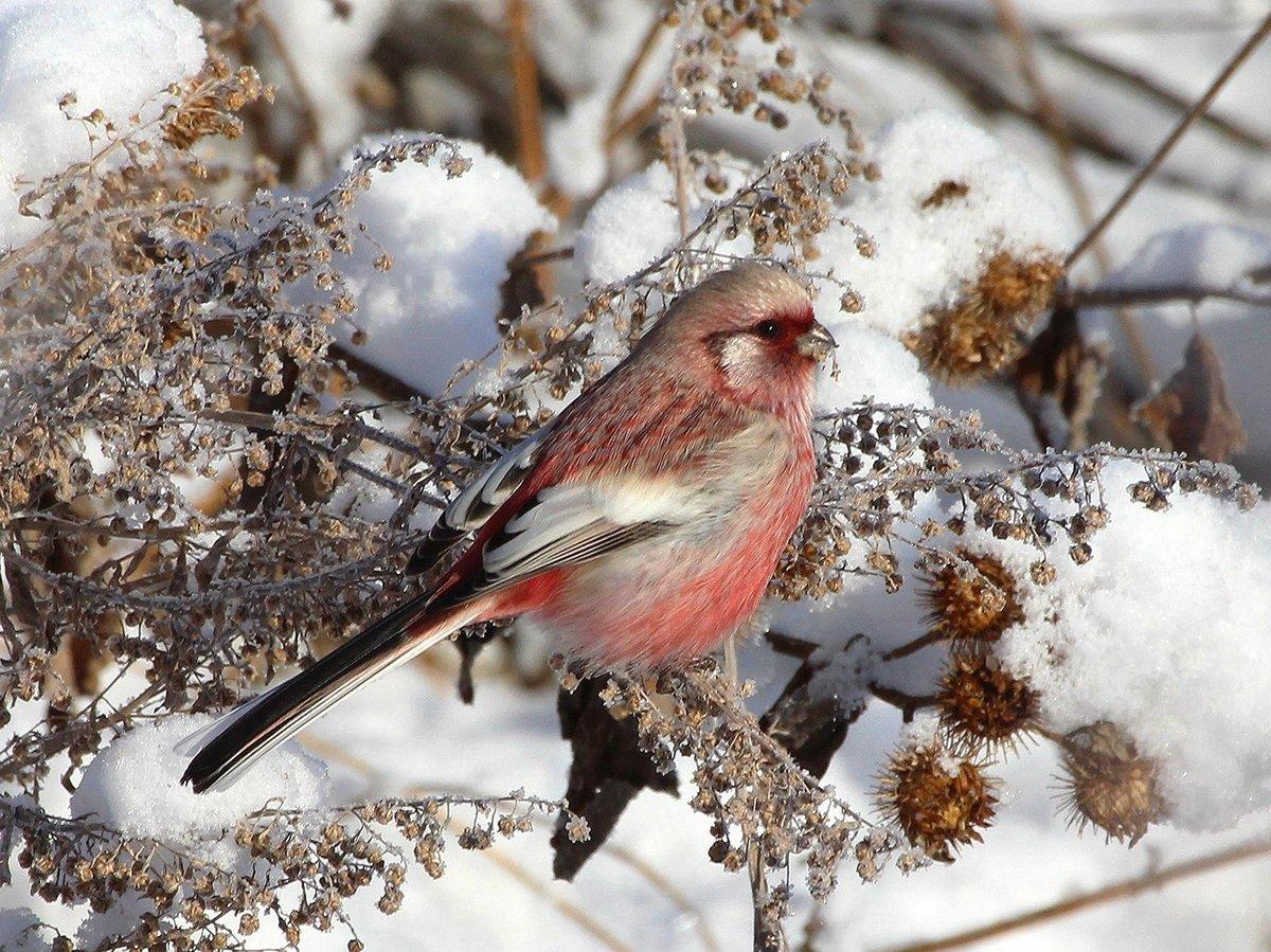 давние картинка зимы птиц монархи получали подарок