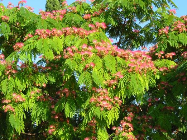 деревья крыма названия и фото