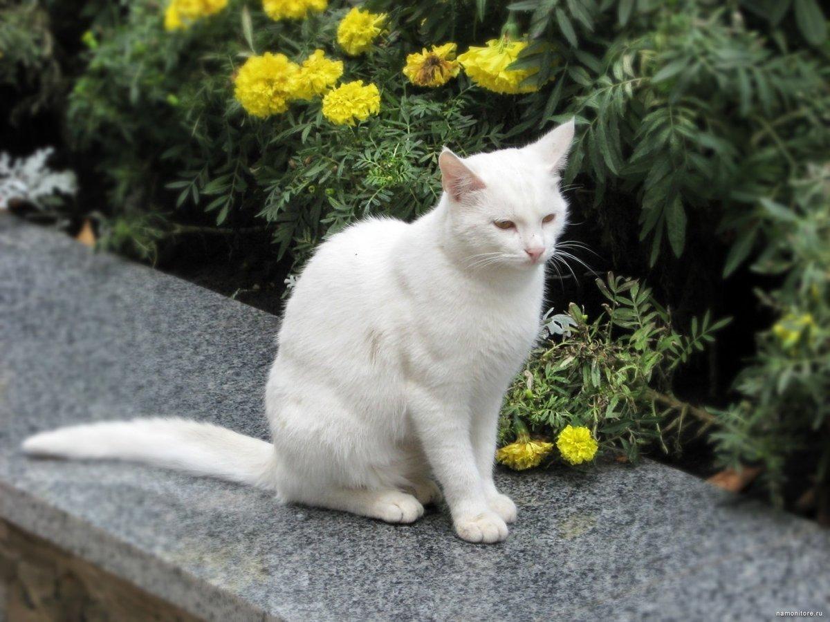 картинки большой белой кошки этого, как