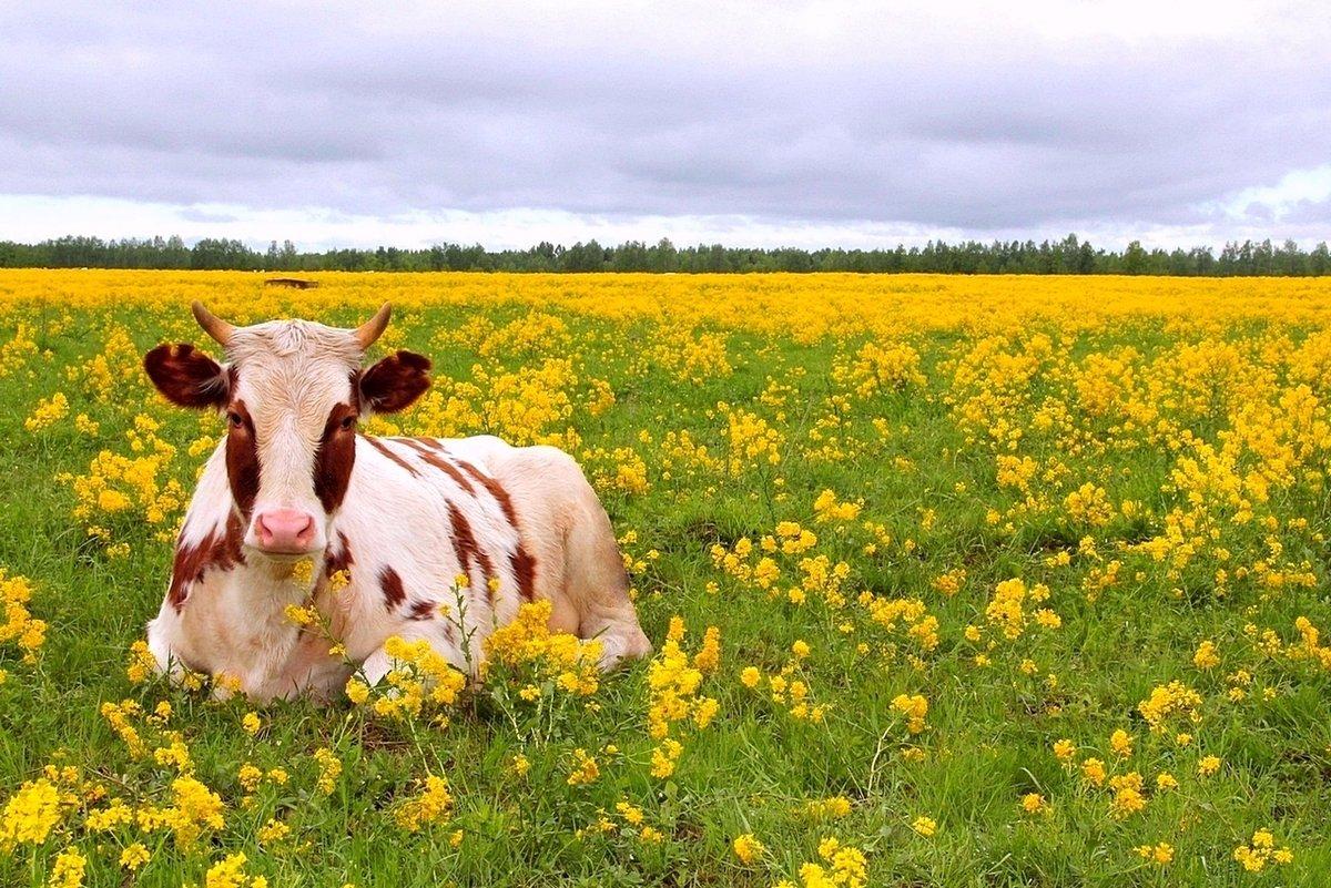 для картинки корова с цветком пена очень