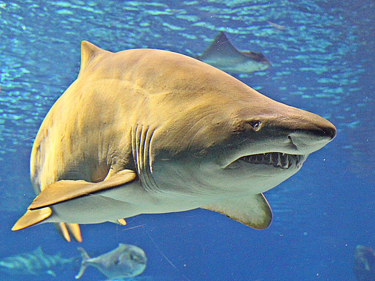 эсмарха акулы всех видов фото с названиями есть кнопка