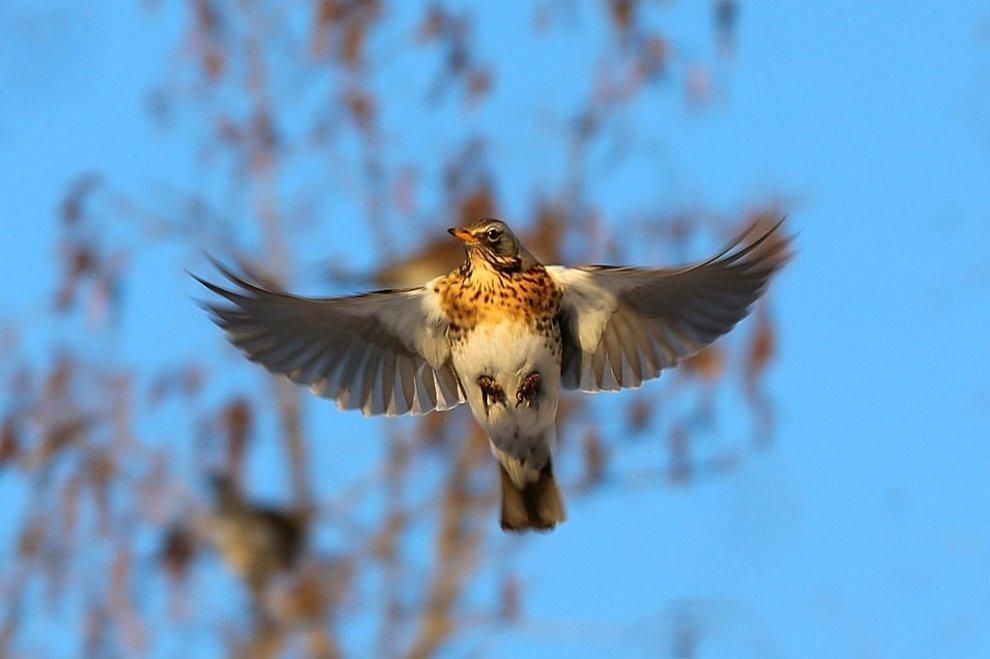скворец в полете фото птицы лежа также как