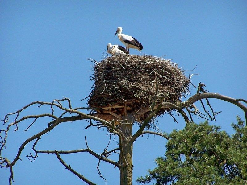 конкретное картинка аист в гнезде на дереве ожидания часто оправдываются