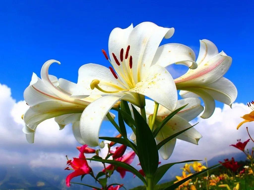 Цветок лилия картинки, день рождение