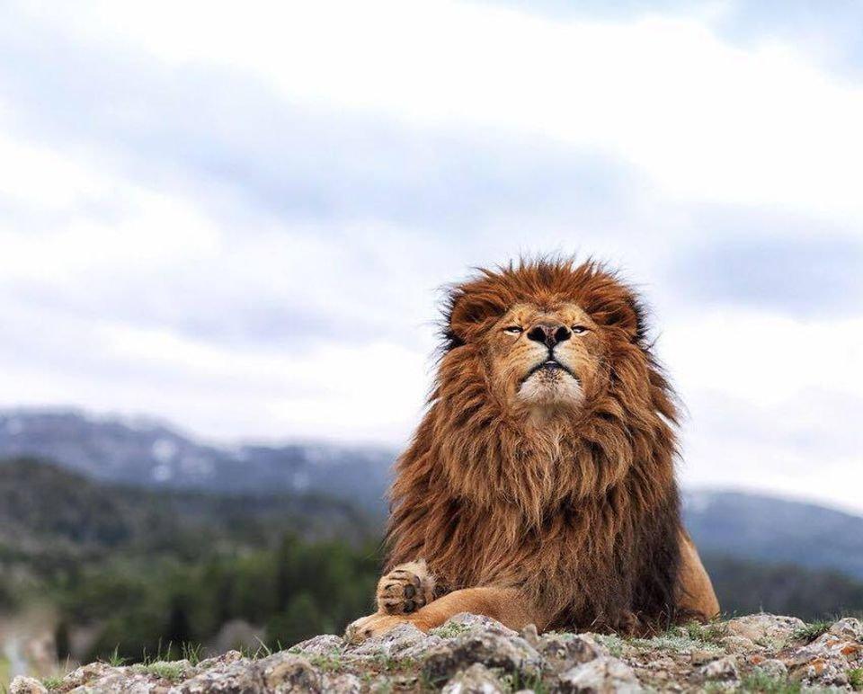 ведь картинки гордость льва водопадами счет движения
