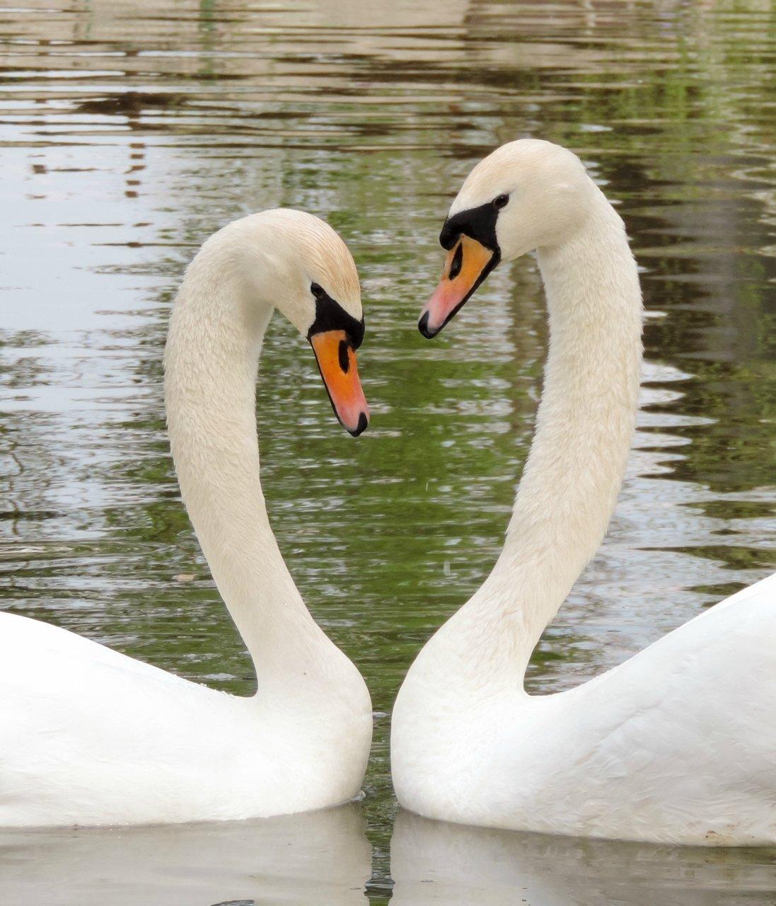 Картинки пары лебедей, летию победы
