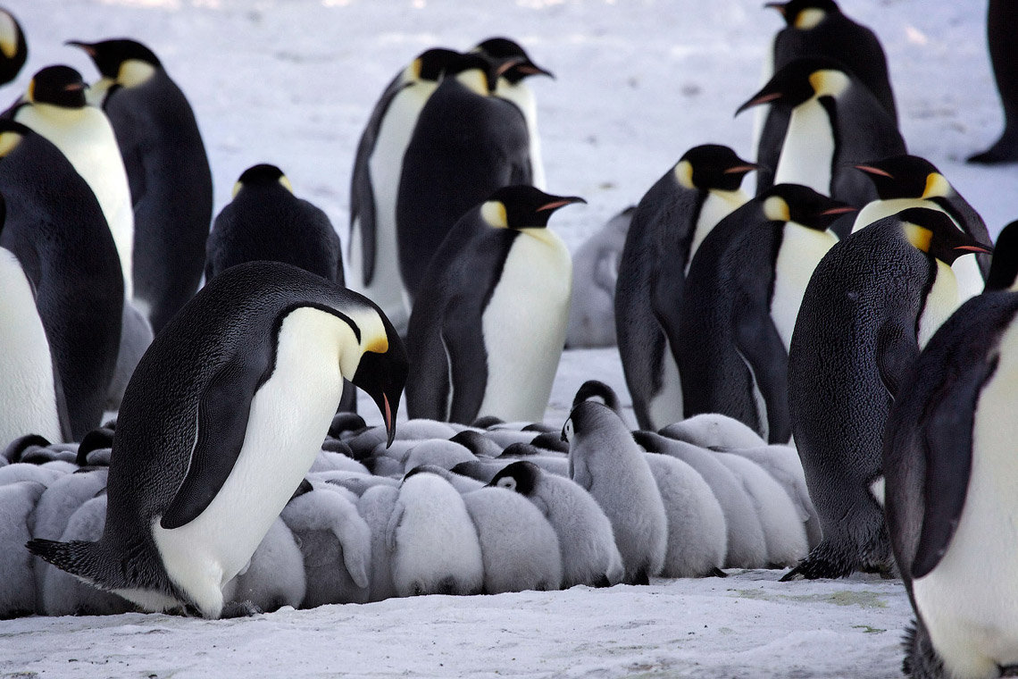 Пингвины зимой картинки