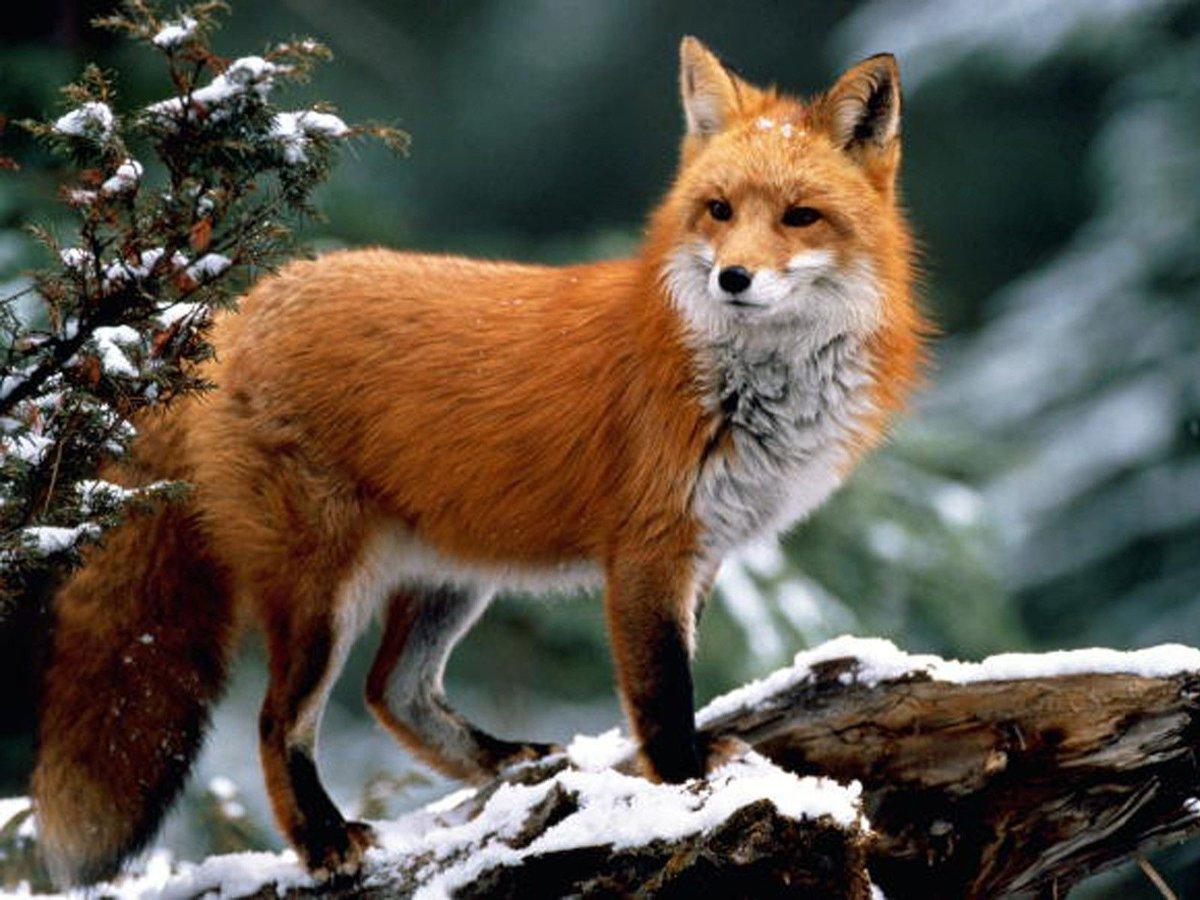 Картинка с лисичкой, днем рождения