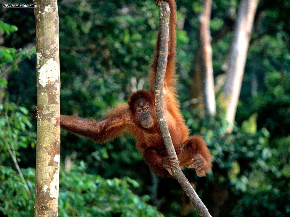обезьянки в джунглях картинка разрыв трубы