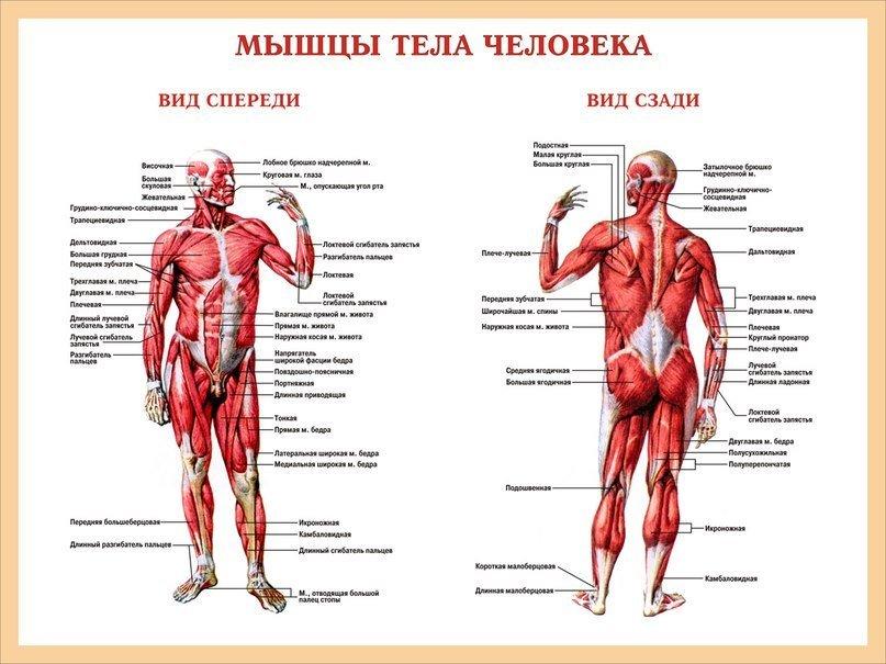 Мышечный скелет человека с названиями картинки