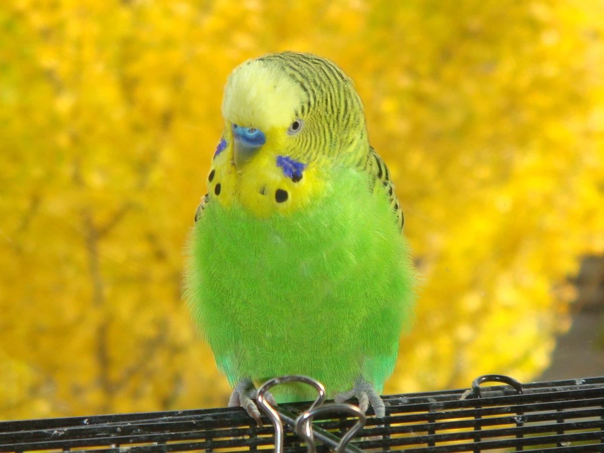 картинки на аву про попугаев освоила несколько