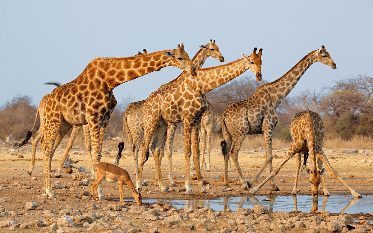 Всемирным днем, картинка с жирафом в воде