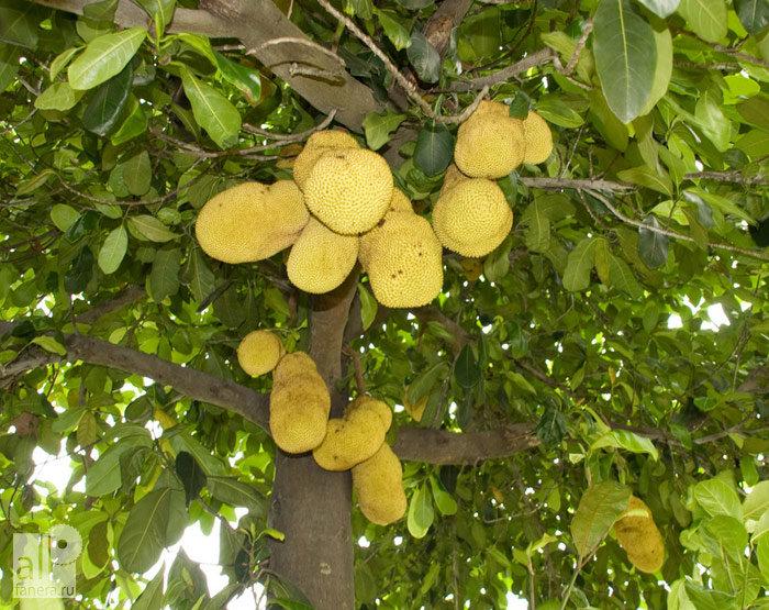 взялся рецепт картинки хлебного дерева африки любят